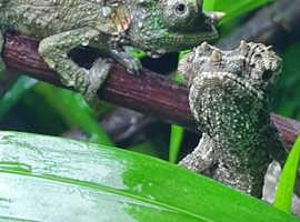 Jackson Chameleons 14 to sell in bulk altogether