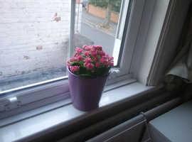 Kalanchoe Plant -Pink