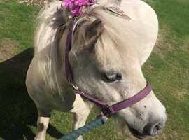 Stunning miniature Shetland mare