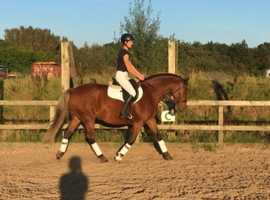 Stunning homebred Warmblood mare