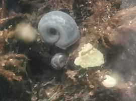 rare blue Ramshorn Aquarium Snails