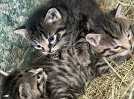 Tabby/Bengal kittens for sale 300 each Bengal stripped kittens 400 each and 1 syemese cross grey black stripped 500