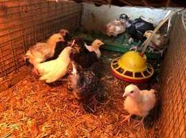 Chicks for sale Brahma/rosecomb/pekin/hybrid/Naked neck Mix