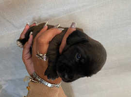 Patterdale Terrier x Cocker Spaniel