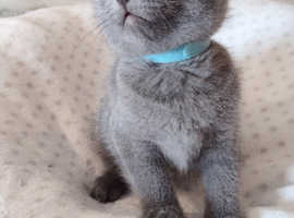 Gorgeous Russian Blue/British Shorthair Kittens