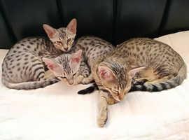 3 Savannah F4 kittens