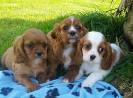 Stunning  cavalier  king Charles  puppies