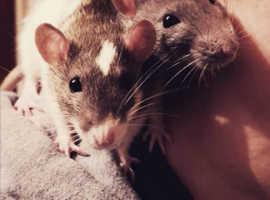 2 Female dumbo rats