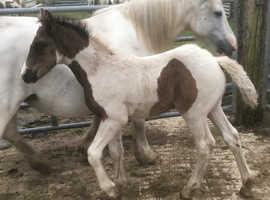 American Paint X Cob Foal