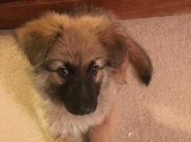 Lovely German shepherd puppy