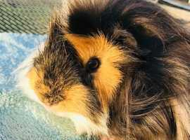Baby Guinea Pig for sale.