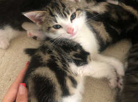 Handsome kitten is looking for a loving home