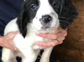 1 black & white English springer spaniel puppy