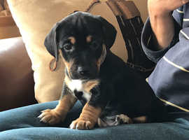 Stunning Jackshund Puppies