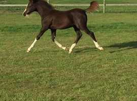 Stunning welsh b yearling