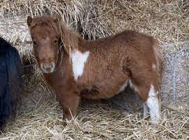 mini Shetland filly