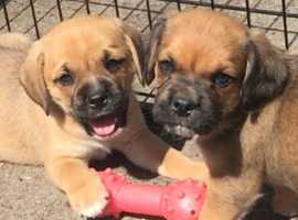 Stunning Puggle Puppies FOR SALE