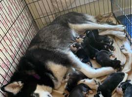 Husky malamute puppies for sale