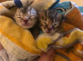 Bengal kittens due