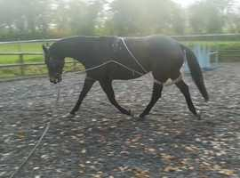 Jimmy 8 year old TB 16.3hh