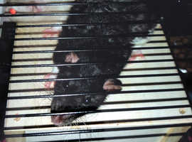 Male large rats