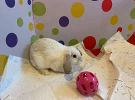 X2 Gorgeous Brothers - Mini Lop Rabbits