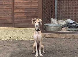 Saluki/greyhound