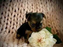 Small full Yorkshire terrier puppies