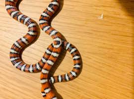Arizona Mountain king snake  het albino