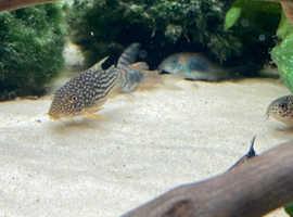 Corydoras sterbai +1 gossei