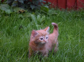 Beautiful fluffy ginger male kitten