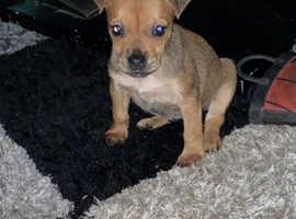 Female border terrier x patterdale