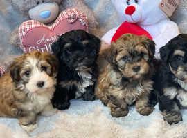 Beautiful Havanese puppies