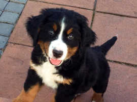 Absolutly KC Bernese Mountain Puppies left