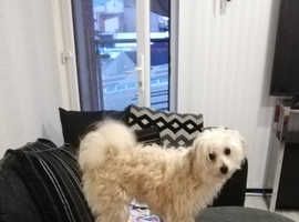 Chipoo Pup