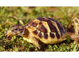 Hermann Tortoises For Sale  - 1yr Old - Great Family Pets.