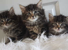 Half MaineCoon Very fluffy Kittens 2 Girls,1Boy