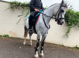 12 hh registered welsh section A pony