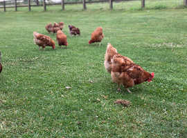 Hens available Fully vaccinated