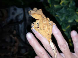 Crested gecko unsexed