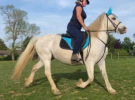 Bubbles is WELSH C registered mare