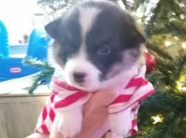 Welsh Pembroke corgi puppies for sale kc registered