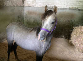 REDUCED - Brookhall Silver Spirit - Exceptional Section B Colt