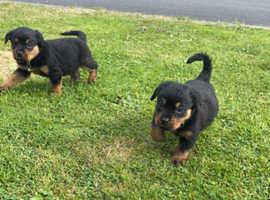 Rottweiler puppies Northern Ireland