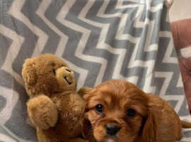Kc registered cavalier King Charles puppies
