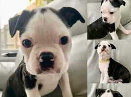 Quality KC registered Boston Terriers