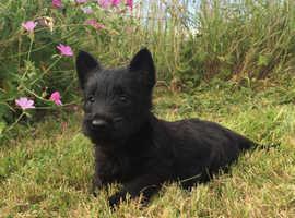 Super cute Scottish terrier