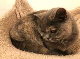Blue/cream British shorthair adult cat for sale