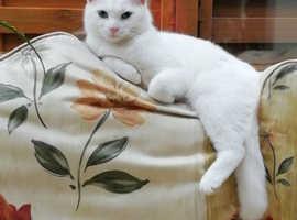 Missing cat Llanelli