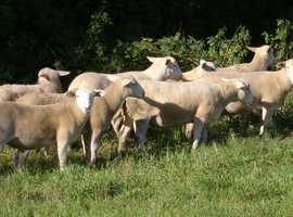 Easycare breeding yearling rams.